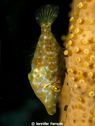 Filefish. Roatan, Honduras. Canon S90 by Jennifer Temple 